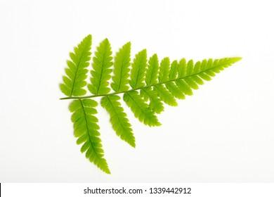 Green leaf of fern on white background