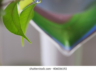 Green leaf of ficus Benjamin in the background of the vase