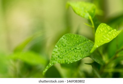 Green leaf of ficus in live nature wetted by summer rain.Close-up.