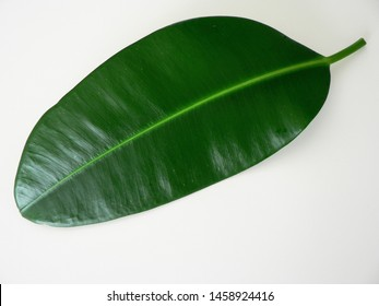 Green leaf of ficus on a white background isolated. Green leaf as eco logo.