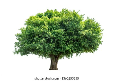 Green leaf foliage on a white background. Clipping Path Maerua siamensis (Kurz) Pax.