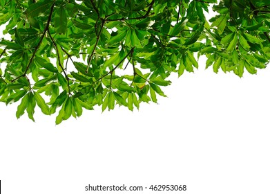 Green leaf frame isolated on white background, Mango leaves