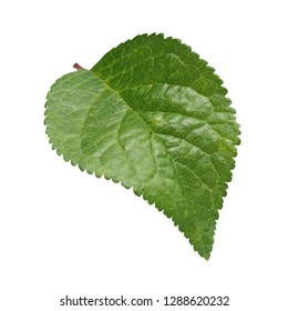 green leaf fruit tree, plum or Apple tree, isolated on white background. herbarium. one curved leaf.