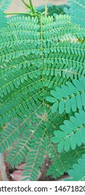 Green leaf of Gulmohar Beauty of Gulmohar