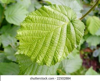 Green Leaf of a hazelnut tree