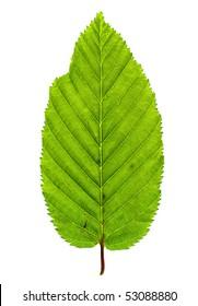 Green leaf of Ironwood isolated