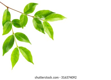 Green leaf isolated background