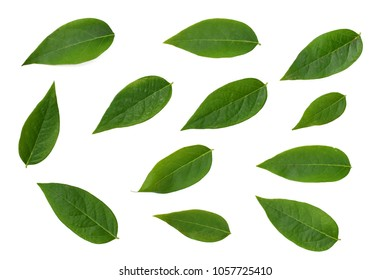 Green leaf isolated on white background, star gooseberry leaf.