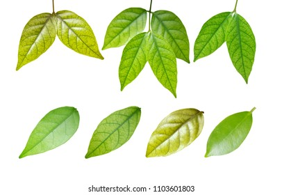 Green leaf, isolated on white background with clipping path