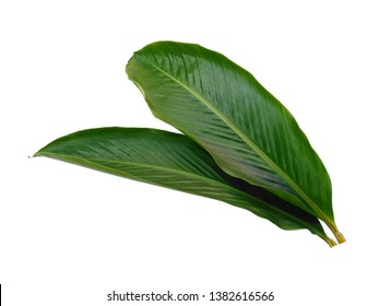 Green leaf isolated on white background. Red Ginger leaves or Alpinia purpurata leaf on white background.