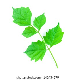 Green leaf isolated on white background - Green leaf - leaves on a white background