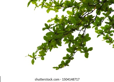 green leaf isolated on white background with clipping path.Is a fresh green branch natural looking in summer.Can be used in graphics to create the image.