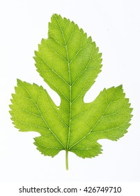 Green leaf isolated on white. High resolution.