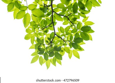 Green leaf isolated on white background, This has clipping path.