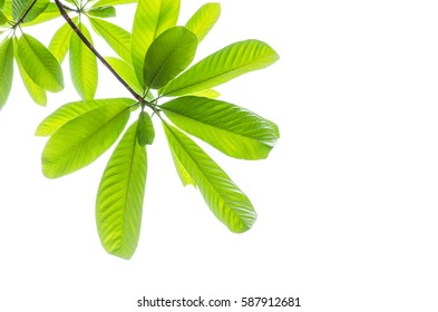 Green leaf isolated on the white.