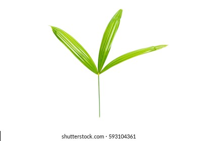 Green leaf isolated on white background.Fresh palm leaves.Leaf In tropical foliage.