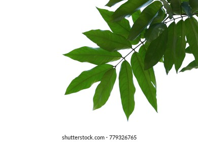 Green leaf isolated on white background and with clipping path.