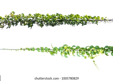 green leaf  Ivy plant with wire electric isolate on white background