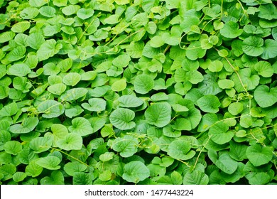 Green leaf Ivy Vine Creeper climber plant background texture