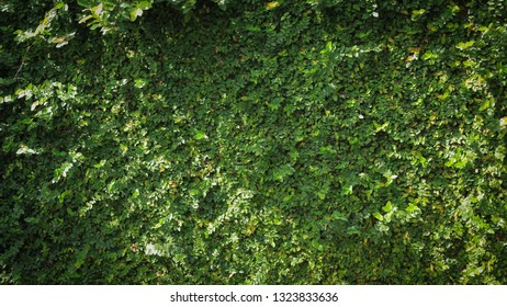 green leaf ivy vine nature wall texture background decorated fence of house exterior in garden