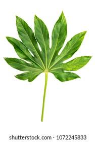 Green leaf Japanese Aralia Fatsia japonica isolated on white background. Tropical jungle plant