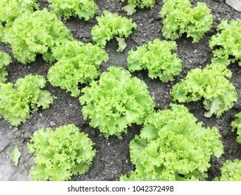 Green leaf lettuce in row in vegetable garden