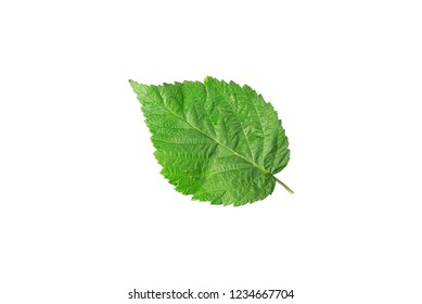 Green leaf of lilac close up isolated on white background