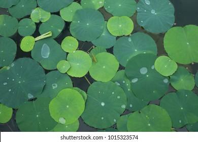 Green leaf lotus