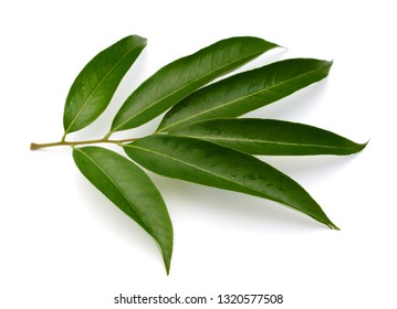 Green leaf of lychee isolated on white background