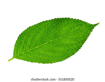 green leaf , macro, isolated on white.