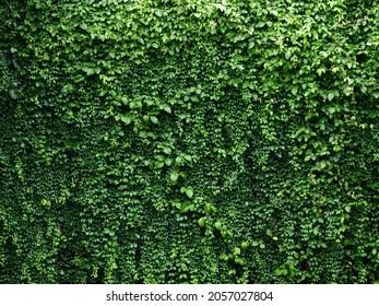 green leaf of Mano de Lagarija ( Macfadyena Unguis-Cati (L.) A.H. Gentry ), ornamental ivy shrubs in the garden