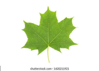 Green leaf of maple isolated on white background
