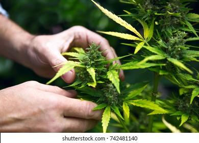 Grünes Marihuana-Blatt in der Hand