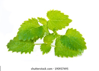 green leaf of melissa on white background