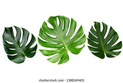 A green leaf, Monstera leaves With Isolate On White background, Minimal work space, Concept Flat lay and top view