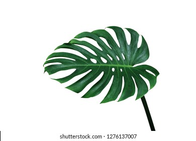 Green leaf of monstera or split-leaf philodendron (Monstera deliciosa) the tropical foliage plant isolated on white background, clipping path included.