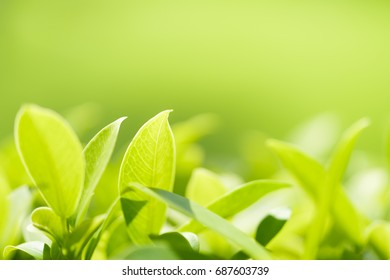 Green leaf nature with copy space using as natural background or wallpaper.