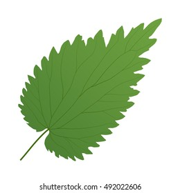 green leaf of nettle isolated on white background