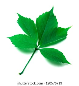 Green leaf on white background. Close-up view.