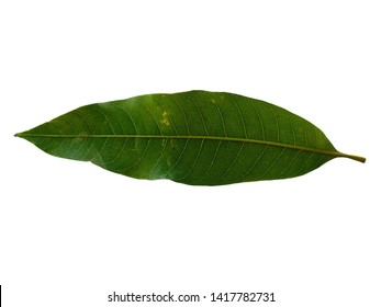 Green leaf on white background. Plant with green leaves. The name of the plant is Mangifera indica or mango.