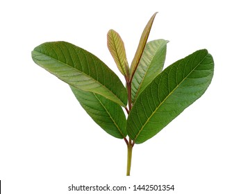 Green leaf on white background. Guava tree with green leaves. The name of the plant is Psidium guajava.