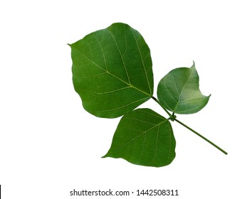 Green leaf on white background. Erythrina variegata tree with green leaves. The name of the plant is Erythrina variegata.