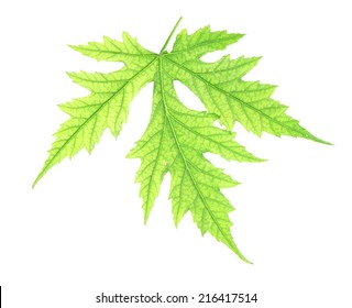 Green leaf on white background isolated