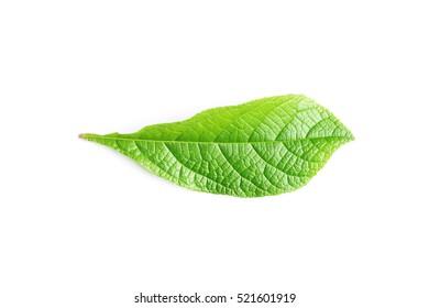 Green leaf on white background, Tropical green leaf.
