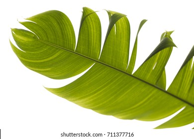 The green leaf of palm, banana, tropical plant. Torn leaf, texture.