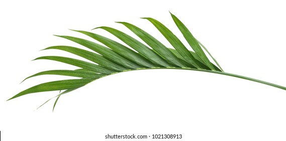 Green leaf of palm isolate