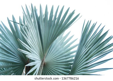 Green leaf of palm tree isolated on white background .