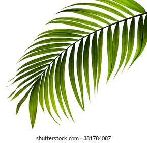 green leaf of palm tree on white background - Shutterstock ID 381784087
