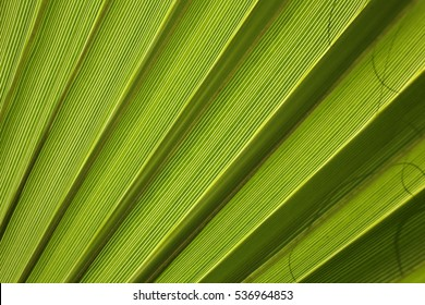 Green leaf of palm tree texture background