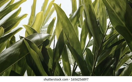 Green leaf pattern of herb ( Alpinia galanga ),soft pastel color toned.